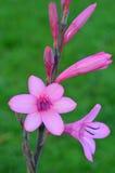Pink Gladiolus flower Stock Photos