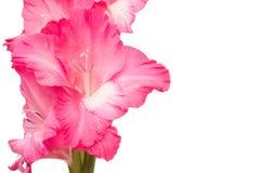 Pink gladiolus flower isolated on white background. Royalty Free Stock Photo