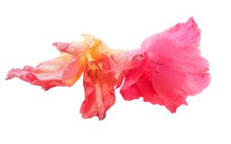 Gladiolus flower isolated on white digital painting. Pink gladiolus flower isolated on white digital painting Royalty Free Stock Photo