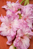 Pink gladiolus flowers Royalty Free Stock Photography