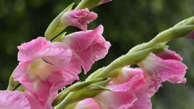 Pink gladiolus flowers stock video footage