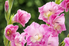 Pink gladiolus flowers Stock Photography