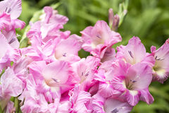 Pink gladiolus flowers Royalty Free Stock Images