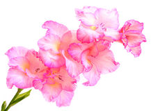 Pink gladiolus flowers . Royalty Free Stock Photo