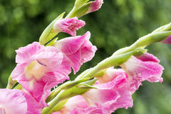 Pink gladiolus flowers Stock Photos