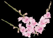 Pink gladiolus flowes on black Stock Image