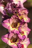 Pink gladiolus. In the garden stock photography