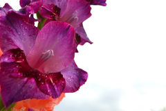 Pink gladiolus Stock Photography