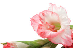 Pink gladiolus isolated on white Stock Photography