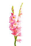 Pink gladiolus isolated Royalty Free Stock Images