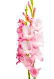 Pink gladiolus isolated Royalty Free Stock Photography
