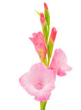 Pink gladiolus isolated Stock Photography