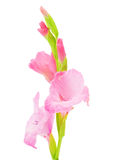 Pink gladiolus isolated Royalty Free Stock Photo