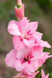 Pink Gladiolus. The photo shows a pink gladiolus flower. Close-up Stock Images