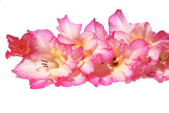 Pink gladiolus with shade Stock Photo