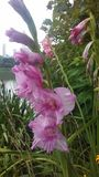 Pink Gladiolus, Sword Lily Blossoming near Lake on Cloudy Day. Stock Photography