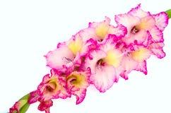 Pink gladiolus is on white background. Glamor pink gladiolus is on white background Stock Image