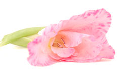 Pink gladioluses. With green runaways. Simply beauty Stock Image