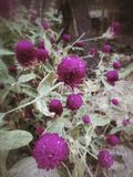 Pink globe amaranth flower Stock Image
