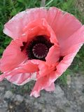 Pink glorious pink. Pink glorious nature flower poppy stock photography