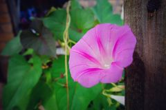 Pink glory. I discovered the morning glory had been in bloom Royalty Free Stock Images