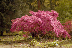 Pink glowing Tree Royalty Free Stock Photos