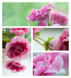 Pink gloxinia flowers collage. Collage of four macro photos of the gloxinia flowers Royalty Free Stock Images