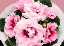 Pink Gloxinia Sonata Sinningia speciosa. Decorum plant, pink Brazilian Gloxinia Sonata Sinningia speciosa royalty free stock photos