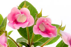 Pink gloxinia on white background Stock Images