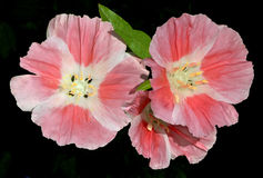 Pink Godetia Clarkia flowers isolated on black Royalty Free Stock Photos