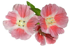 Pink Godetia Clarkia flowers isolated on white Stock Image