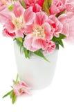Pink Godetia Stock Image