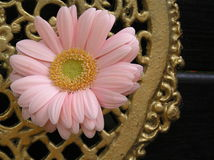 Pink and gold. Photograph of a pale pink gerbera daisy against a  golden console Stock Photos