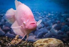 Pink gourami in the aquarium. Beautiful aquarium fish gourami on a background of blue water in the aquarium Stock Photography