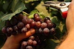 Pink grape Stock Photos