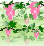 pink grape Stock Photography