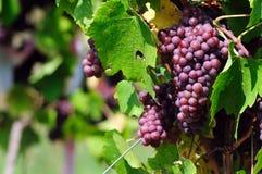 Pink grape Royalty Free Stock Photos