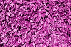Pink grape leaves backdrop, abstract purple foliage texture background close up, fantasy creative pattern design, copy space. Decorative red floral image stock image
