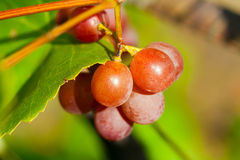 Pink grape is shine. Royalty Free Stock Photography