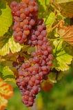 Pink grapes Stock Photo