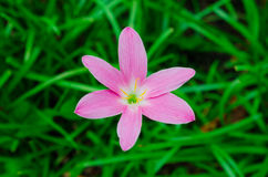 Pink grass flower Stock Images