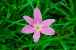 Pink grass flower. Close up single pink grass flower Stock Images