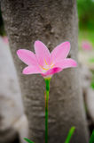 Pink grass flower. Close up single pink grass flower Royalty Free Stock Image