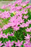 Pink grass flower. Field of pink grass flowers Royalty Free Stock Image