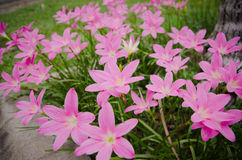 Pink grass flower. Field of pink grass flowers Stock Image