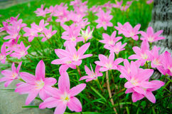 Pink grass flower Royalty Free Stock Photos