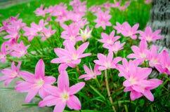 Pink grass flower. Field of pink grass flowers Royalty Free Stock Photos