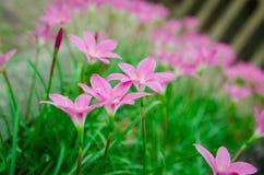 Pink grass flower. Field of pink grass flowers Stock Photography