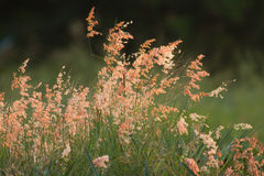 Pink grass flower in garden. The pink grass flower in the garden Royalty Free Stock Image