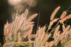 Pink grass flower in garden. The pink grass flower in the garden Stock Photography